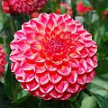 Red And White Flower by Bradley Bennett