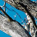 Red-bellied Woodpecker by Edward Peterson