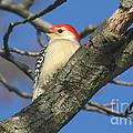Red-bellied Woodpecker by Ken Keener