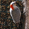 Red Bellied Woodpecker by Robert Floyd