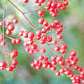 Red Berries by Nicole Parks
