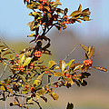 Red Berries by Ruth  Housley