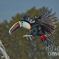 Red-billed Toucan by Anthony Mercieca