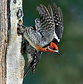 Red-breasted Sapsucker by Anthony Mercieca