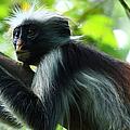 Red Colobus Monkey by Aidan Moran