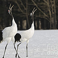 Red-crowned Cranes Courting by John Shaw