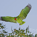 Red-crowned Parrot by Anthony Mercieca