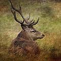 Red Deer  Cervus Elaphus by Chris Smith