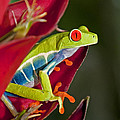 Red Eyed Tree Frog 2 by Dennis Cox