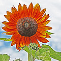 Red Face Sunflower At Olympia by Tom Janca