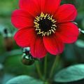 Red Flower by Corey Hochachka