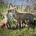 Red Fox Family by Ronald Lutz