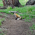 Red Fox In Yellowstone by Dan Sproul