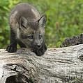 Red Fox Kit by Sandra Bronstein