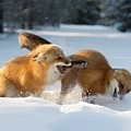 Red Foxes Interacting In Snow by Dr P. Marazzi/science Photo Library