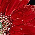 Red Gerbera by Nancie Rowan