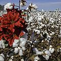 Red In The Cotton  by Michael Thomas