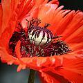 Red Orange Poppy by Meegan Streeter
