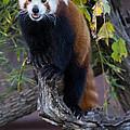 Red Panda by Sara McCuddy