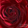Red Rose Abstract 2 by Tara  Shalton