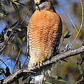 Red Shoulder Hawk by Paul Marto