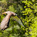 Red Tailed Hawk by Les Palenik