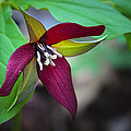 Red Trillium by Jack R Perry