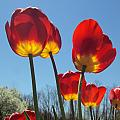 Red Tulips With Blue Sky Background by Jennifer Wenzel
