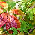 Red Viginia Creeper And Maple Leaves by Alain De Maximy
