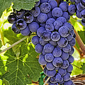 Red Wine Grapes Hanging On The Vine by Teri Virbickis