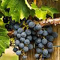 Red Wine Grapes by Teri Virbickis