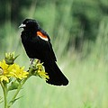 Red-winged Blackbird by Eric Noa
