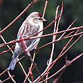 Redpoll by MTBobbins Photography
