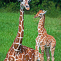 Reticulated Giraffe Calf With Mother by Millard H. Sharp
