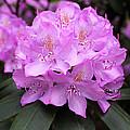 Rhododendron  ' Roseum Elegans ' by William Tanneberger