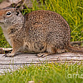 Richardson Ground Squirrel by Fred Stearns