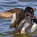 Ring Neck Duck by Kevin Pugh