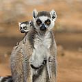 Ring-tailed Lemur And Baby Madagascar by Suzi Eszterhas