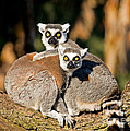 Ring Tailed Lemur by Millard H. Sharp