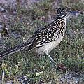 Roadrunner by Doug Lloyd