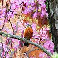 Robin In A Red Bud Tree by John Freidenberg