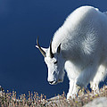 Rocky Mountain Goat by Gary Langley