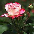 Rose And Bud At Mcc by Tom Janca