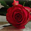 Rose by David Pringle