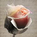 Rose by Lynn Bolt