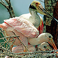 Roseate Spoonbill Adult With Young by Millard H. Sharp