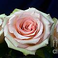 Roses 8405 by Terri Winkler