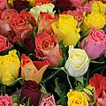Roses by Steve K