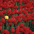 Rows Of Red Tulips With One Yellow Tulip by Jim Corwin
