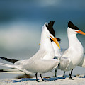 Royal Terns by Paul J. Fusco
